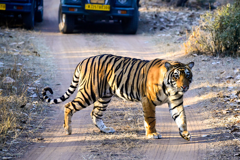 the tiger turns and approaches us