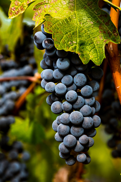 Grape Shots Napa Aug 29-17-28