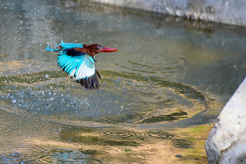 """the magnificent """"Kingfisher"""", love that blue"""