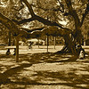 The carob tree at Kuns Park, LaVerne, CA. Children are fascinated by the huge pods the tree drops, which look like giant pea pods. 5-4-10