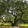 This 100 year old carob tree was planted in 1910 by Henry L. Kuns, who established the park on his property. In 1939, the City of La Verne, CA, took it over. May 9, 2010.