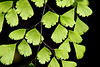 Maidenfair fern, using a 2X closeup lens, something I recently required. I love the veining on the leaves, the arrangement of the stems against the darkened background. There is also a wisp of a spider's web if you look...