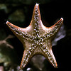 Starfish, Aquarium of the Pacific Photographer's night, 9-12-10.