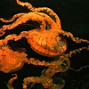 West coast sea nettles, a type of sea jelly (jellyfish), Aquarium of the Pacific Photographer's night, 9-12-10.