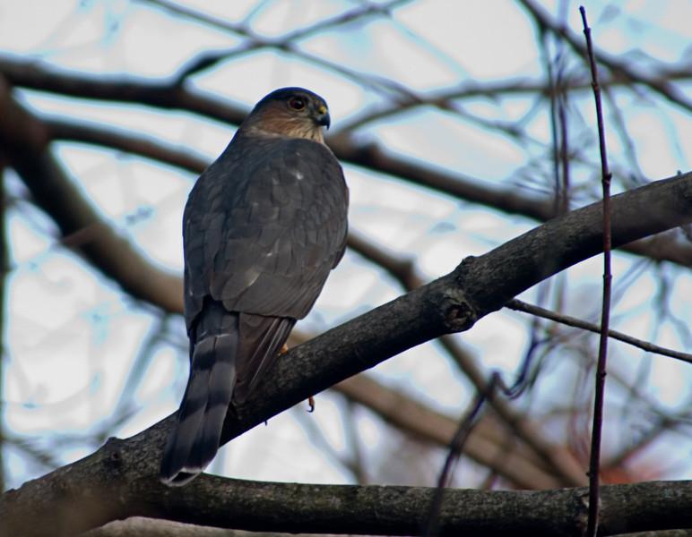 <center>Sharp-shinned Hawk<br>North Providence,  RI </center>