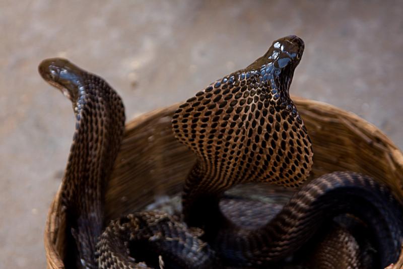 <center>Cobras<br>Jaipur, India </center>