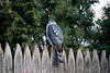 <center>Sharp-shinned Hawk<br>North Providence, RI </center>
