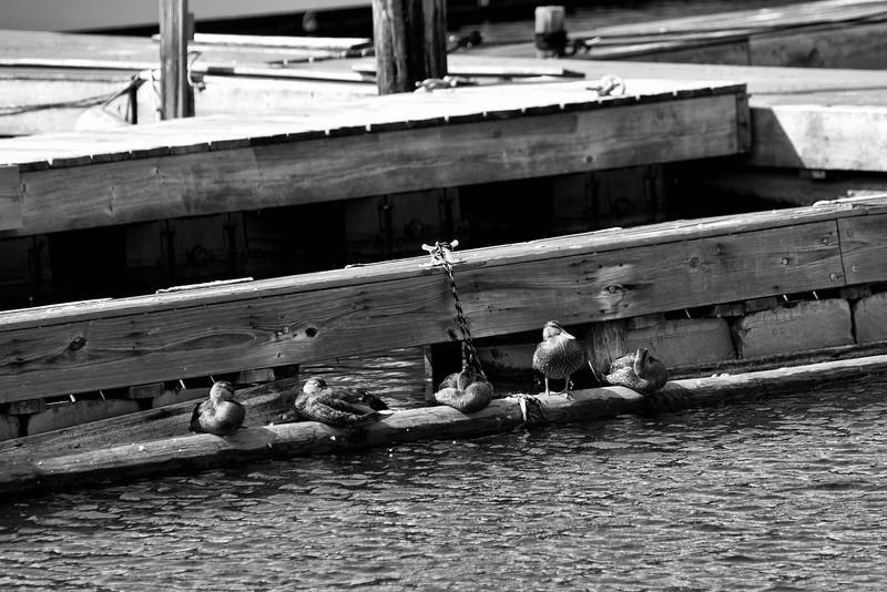 Ducks on the Docks
