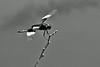 Male Widow Skimmer