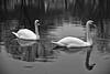 Uncooperative Swans
