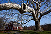 <center>Betsy Williams Cottage<br>30 November 2012<br>Providence, Rhode Island<br><br>Seated high upon a hilltop overlooking a picturesque lake near the entrance to Roger Williams Park sits the original farmhouse that once belonged to the family that founded Rhode Island.  This house was built in 1773 and was last owned by Betsy Williams, the great-great-great granddaughter of the state's founder.  In 1871, the farmhouse and the surrounding farm were deeded to the City of Providence to establish the Roger Williams Park as specified in Betsy's will.<br><br>As you enter the rotary (i.e. roundabout) that leads to the cottage, your eyes are immediately drawn to this beautiful London Plane tree that now dwarfs the house.  This species is actually a hybrid that first appeared in Spain in the 17th century.  It was the product of an accidental cross-pollination between an Oriental Plane and an American Plane that were planted too close together.  The mottled white and green bark is quite striking.  The tree in the foreground was planted in the 1800s.<br><br>Post processing started with a brilliant cold filter in Topaz Adjust.  I then adjusted adaptive exposure, contrast, and adaptive saturation.  A slight levels adjustment was added in PSE.</center>