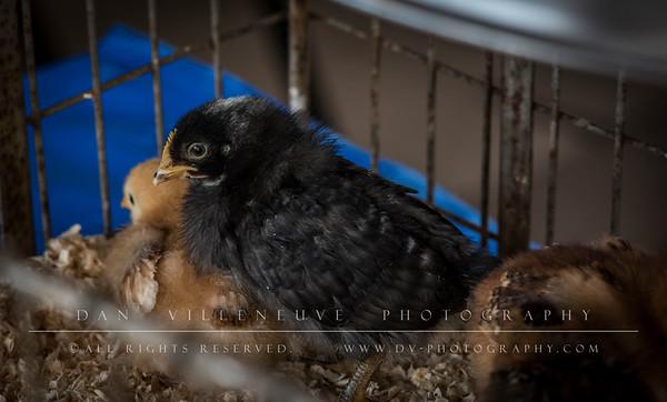 2018 Strong Family Farm Chicken Run