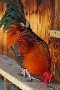 Carl the Rooster