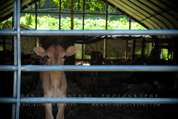 This little Jersey calf was wondering what I was up to, or perhaps if I had any food.