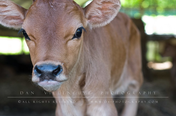 Here's a view of the same Jersey calf without the gate.