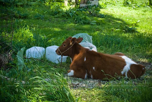 This calf was enjoying the shade.