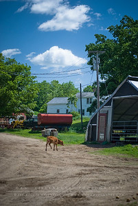 This little calf was exploring when I came out of the milking room. It was heading back to the shelter where the other calves were, to the right of the image.