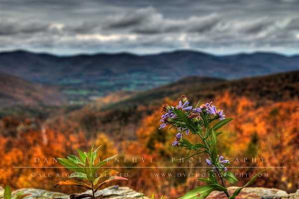 """Funny story behind this photo: This was along the road going up Mount Greylock at one of the """"scenic view"""" stops. This flower was on a ledge just a foot from the guard rail which was a foot from the edge of the road. Being the dedicated photographer, I laid down on the crushed stone and hugged the guard rail to take this hand held bracketed exposure. From behind me, Jennifer yelled out, """"You might want to get out of the road, cars are coming!"""". Turned out that to get better balance, I had kicked out my leg... into the road. Thanks Jennifer for saving my leg from being pancaked! =)"""