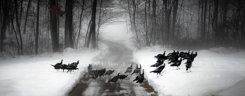 Wild turkeys migrating through my field in Bedford, NH.