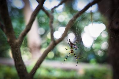 Jorogumo Spider