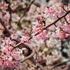 Cherry Blossom 20