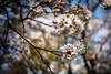 Yoko Blossoms