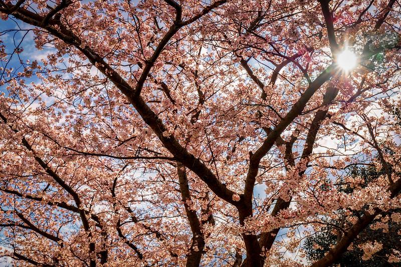 Cherry Blossom 19