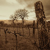 Vineyards of Guardea