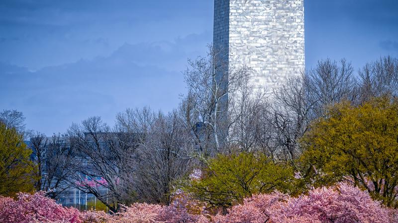 Cherry Blossom 8
