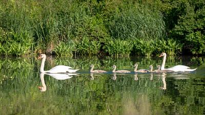 Swan swimming lessons!