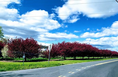 Pink Tree Lined Border edge at Bream Orchards by Palma Imbro