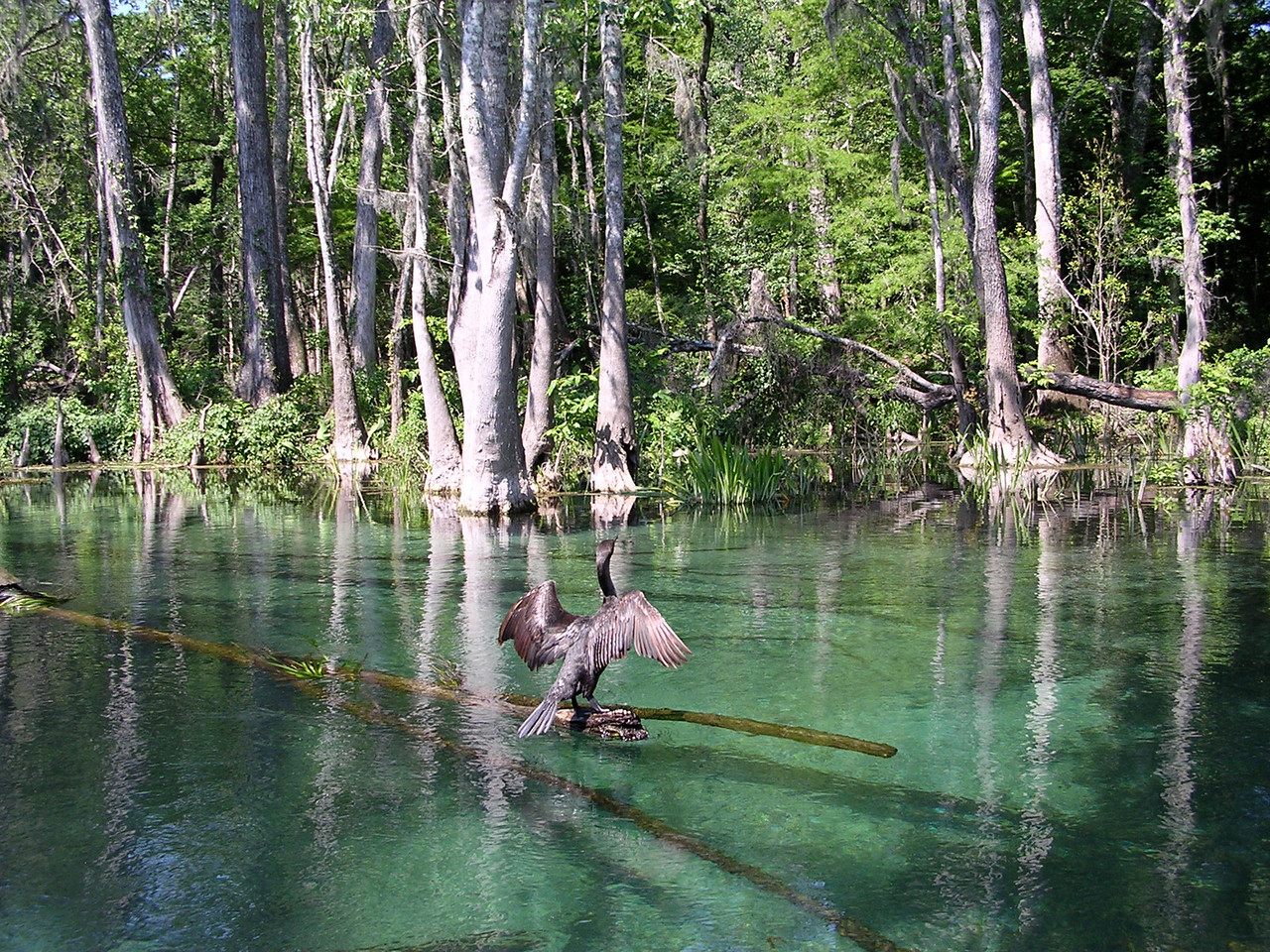 Cormorant, Ichetucknee Springs State Park<br /> PHOTO by Pam Hale
