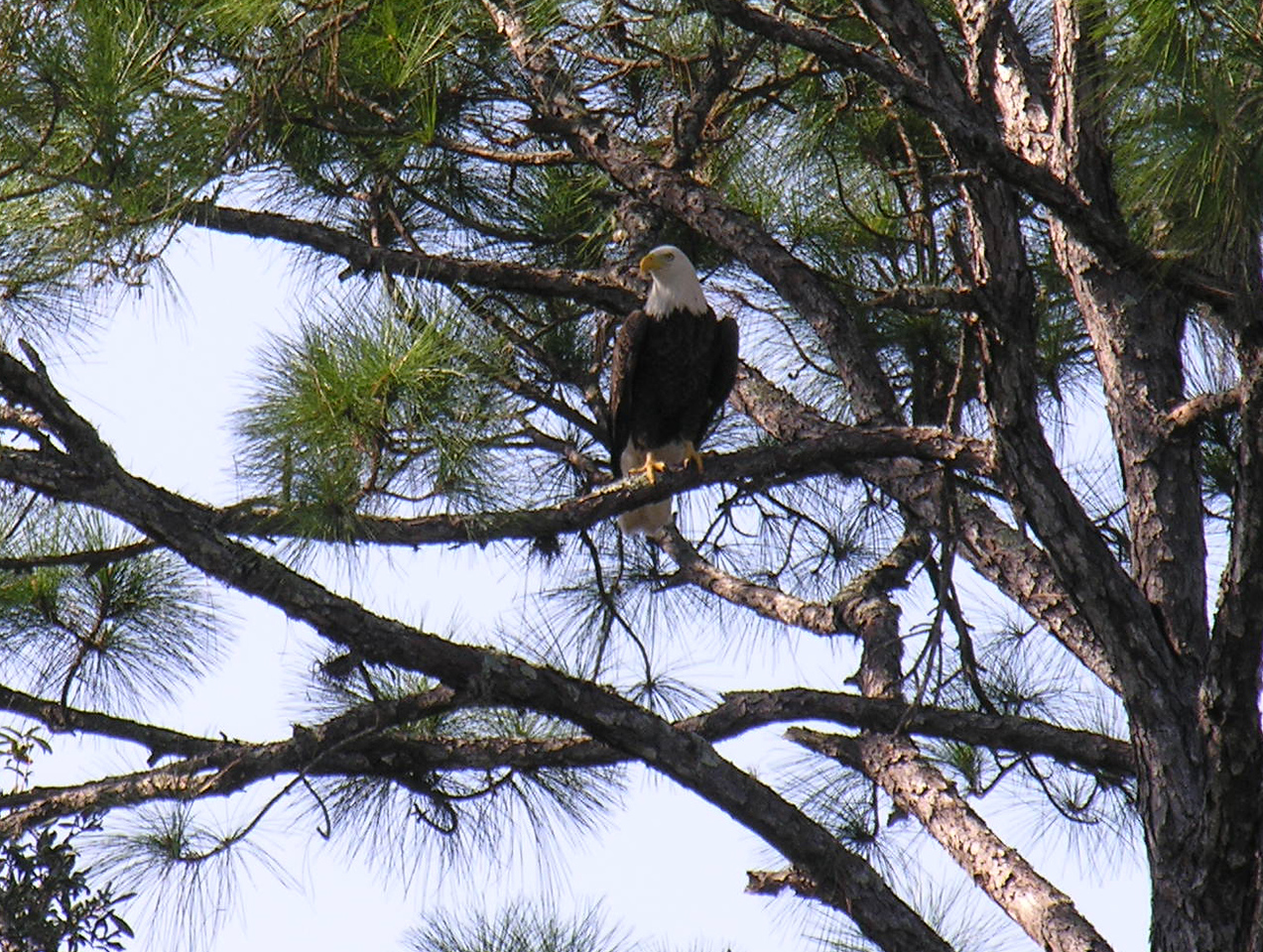 The American Bald Eagle: Watching over us on the Florida Trail <br /> PHOTO by Carl M Anglesea