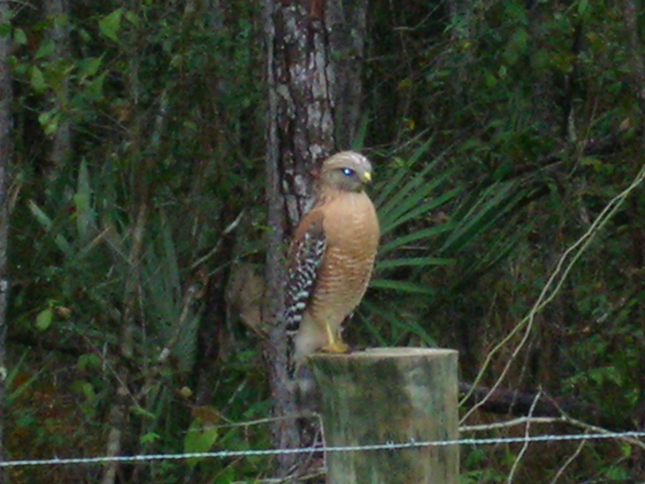 Red Shouldered Hawk on fence post along CR419 (road walk around Deseret Ranch)<br /> PHOTO by Sue Turner
