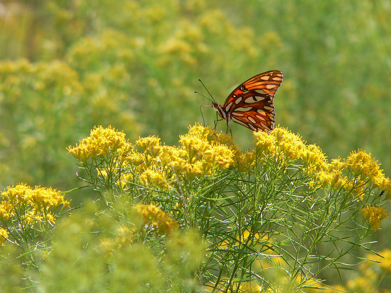 A beautiful butterfly sips sweet nectar among the wildflowers (Prairie Lakes)<br /> PHOTO by Donna Morris