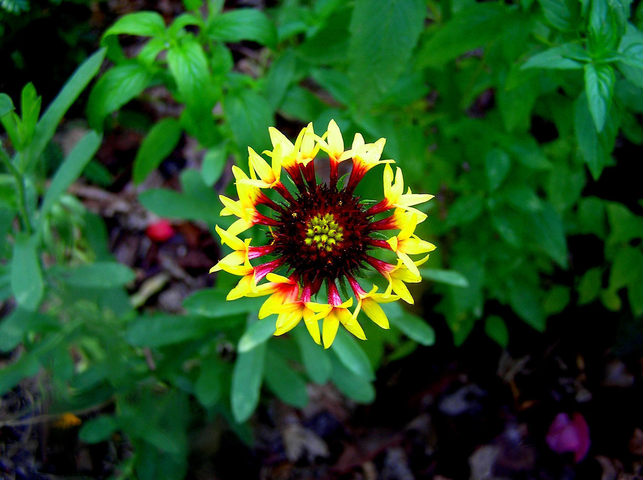 Gaillardia flower, EEL Barrier Island Trail<br /> PHOTO by Jim Escoffier