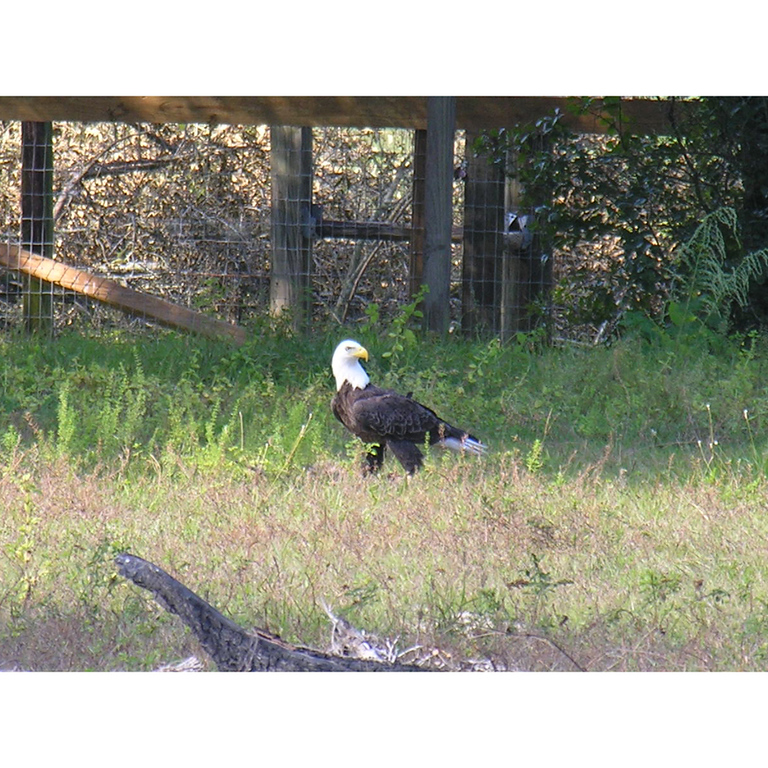 The American Bald Eagle: A proud visitor of the Florida Trail<br /> PHOTO by Carl M Anglesea