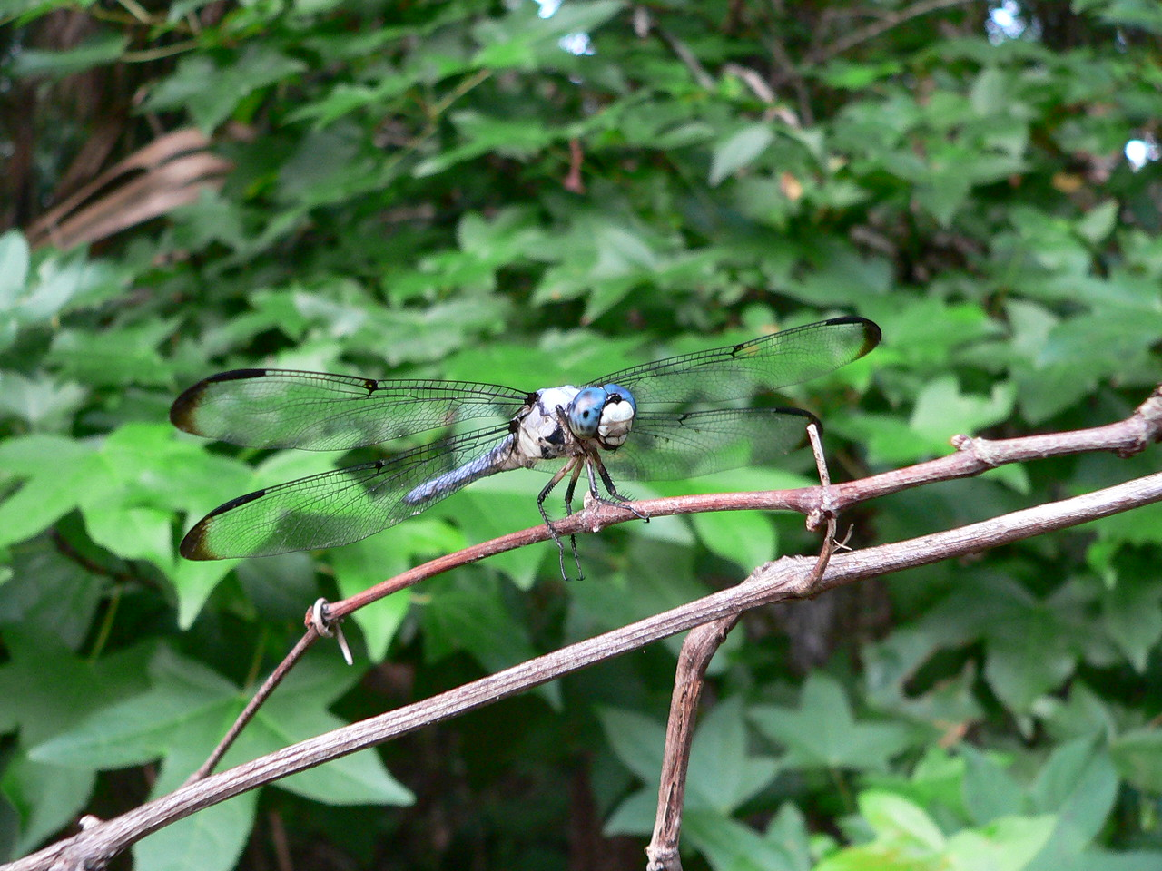 Dragonfly along the trail at Lake Norris looking for his next victim<br /> PHOTO by Diane Dammiller