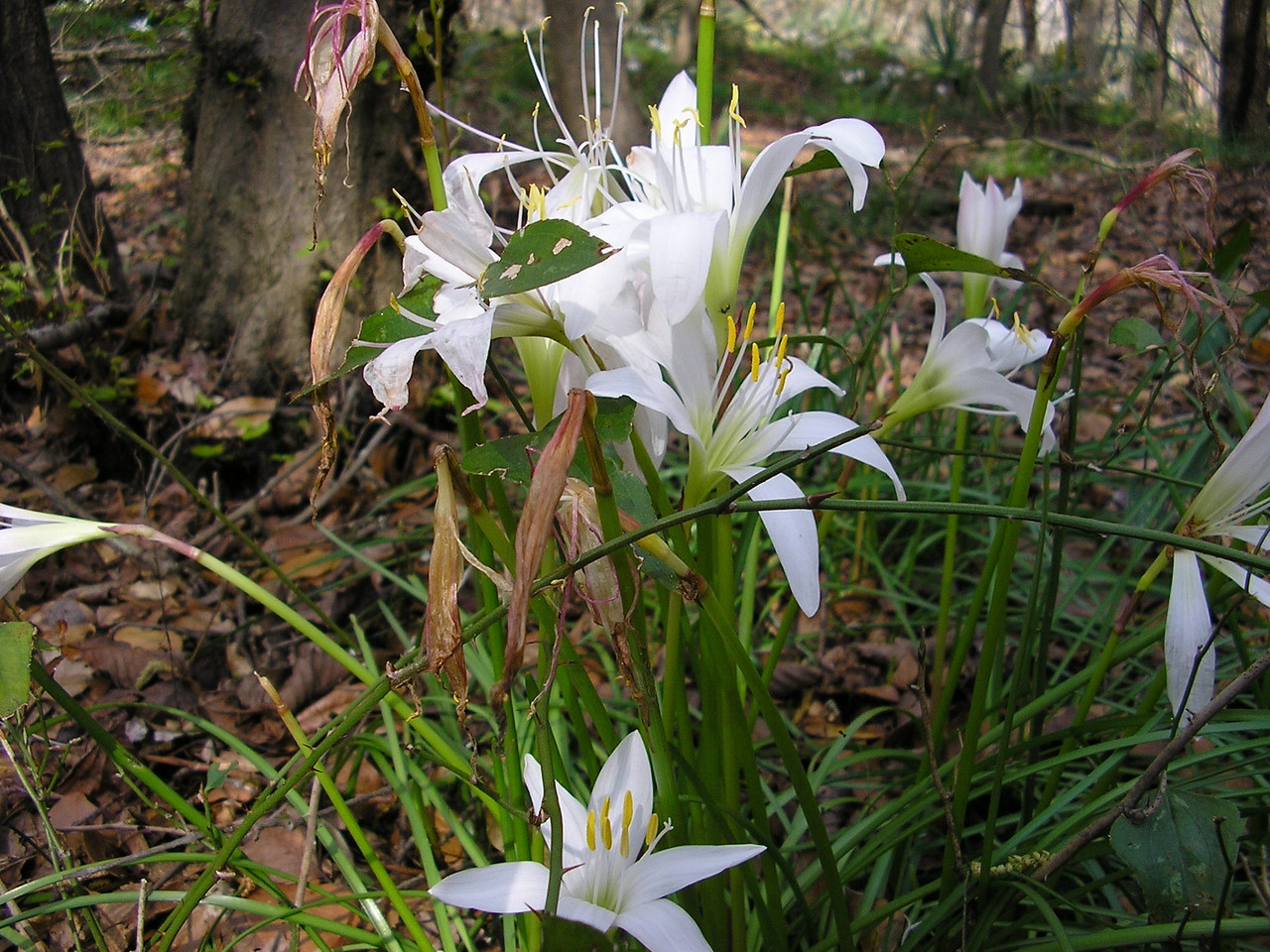 Suwannee River State Park, Atamasco Lily <br /> PHOTO by Cindy Murrill