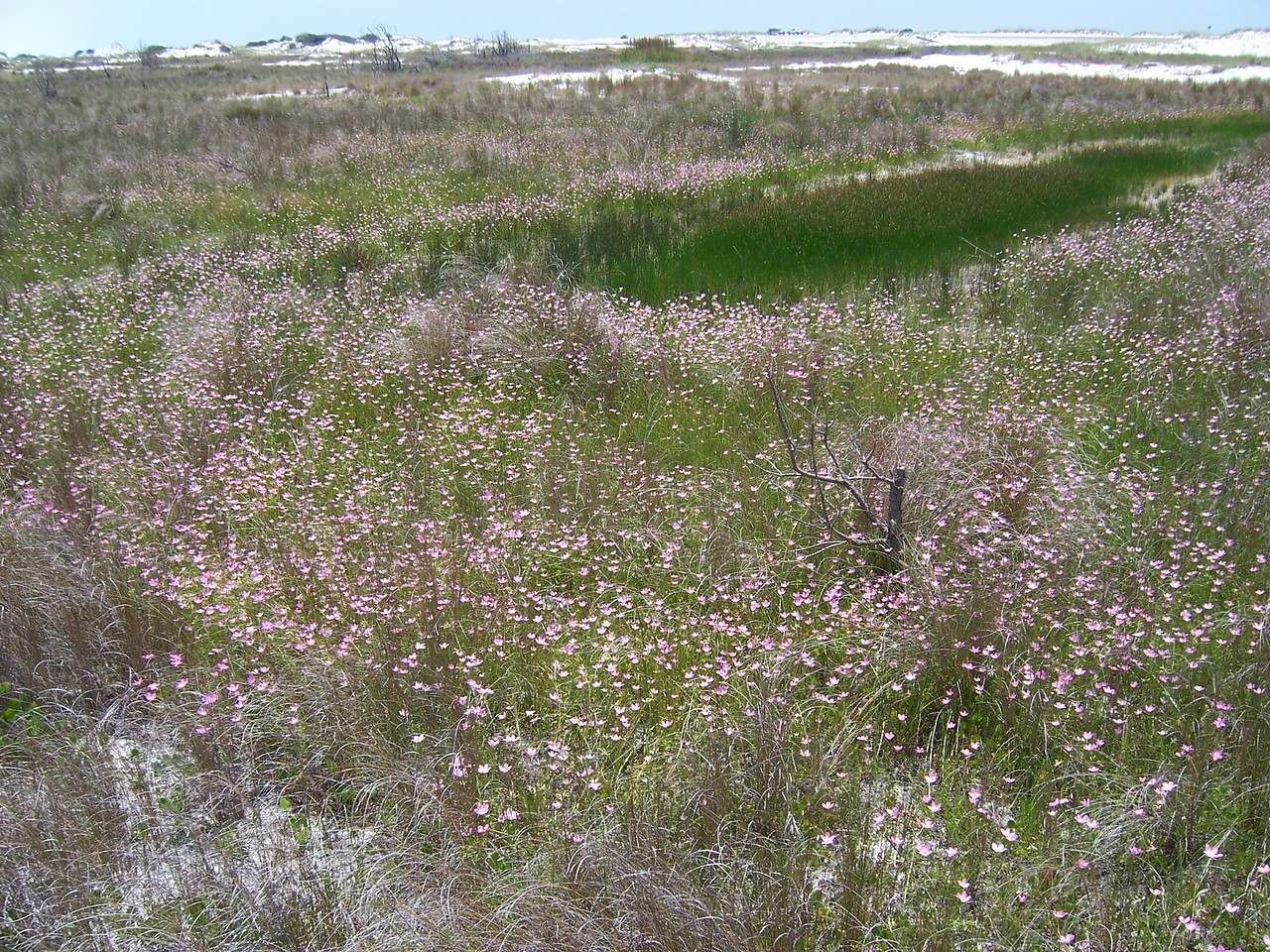 Sea of Pink, Marsh Pinks on Santa Rosa Island <br /> PHOTO by Glenn Griffiths