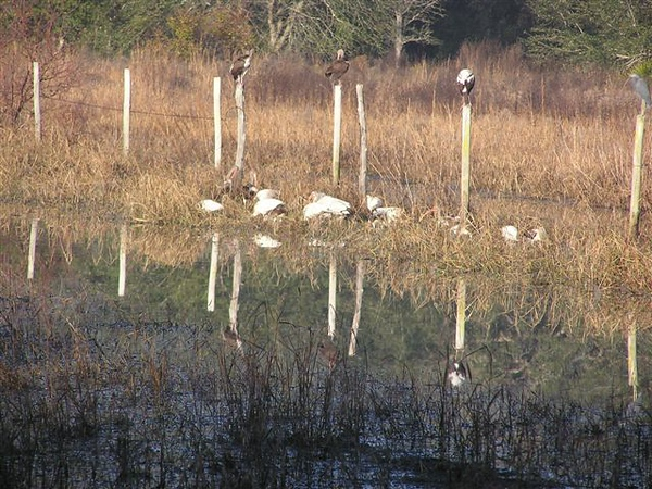 Waterfowl took special delight in these post-hurricane pools created along the Ross Prairie Trail <br /> PHOTO by Connie Hagelshaw