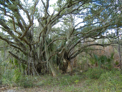 Beautiful Oak, Jonathan Dickinson State Park <br /> PHOTO by Paul Cummings