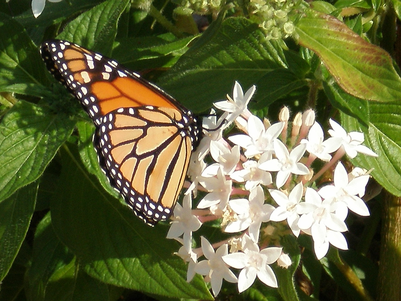 Monarch on Trail <br /> PHOTO by Allan Young