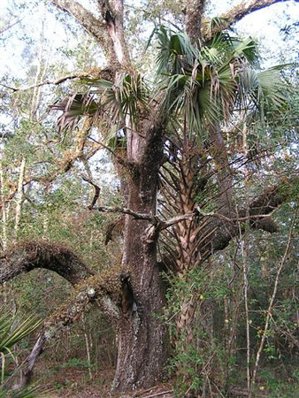 Live Oak and Sabal Palm, Ross Prairie Trail <br /> PHOTO by Connie Hagelshaw
