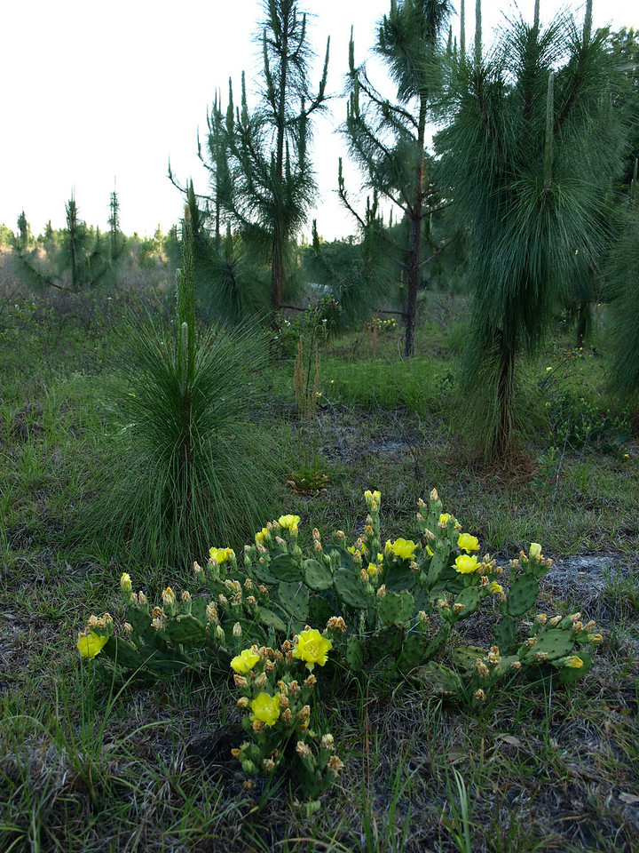Opuntia humifusa: Native Prickly-Pear on the Landbridge Trail in Marion County<br /> Photo by Connie Hagelshaw
