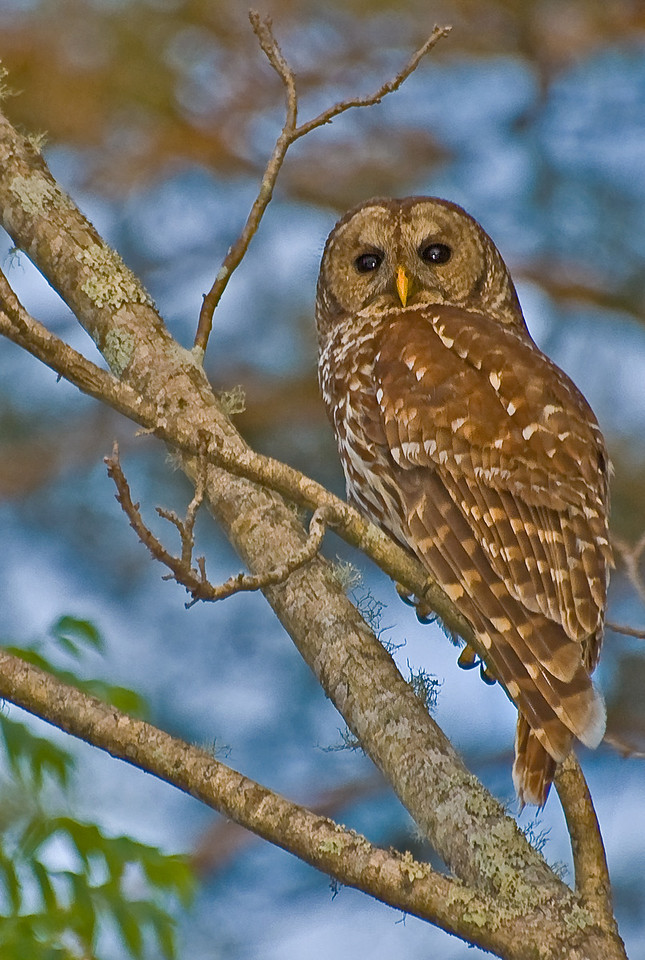 The owl that landed in my back yard<br /> Photo by Mike Knox