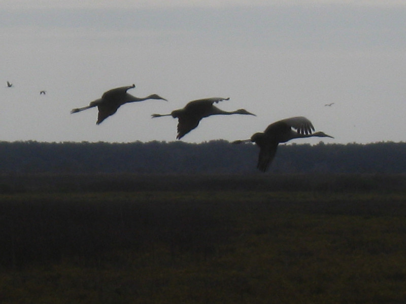 Sandhills on Approach<br /> Photo by Tom Regan