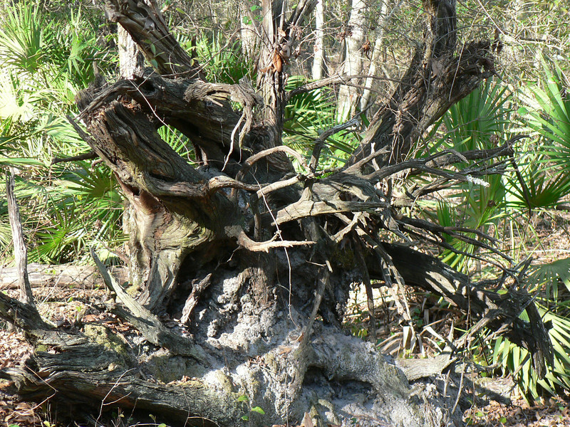 Rootless. Natural sculpture at Swift Creek in Butler Forest<br /> Photo by George Meek