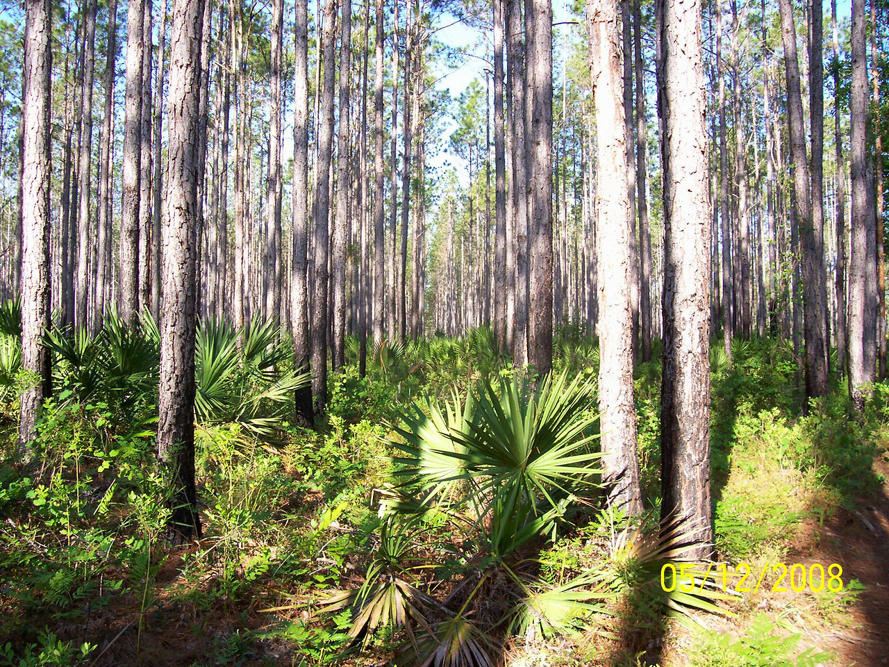Pine Flatwoods on the Saint Francis Trail<br /> Photo by Laurie Eberle