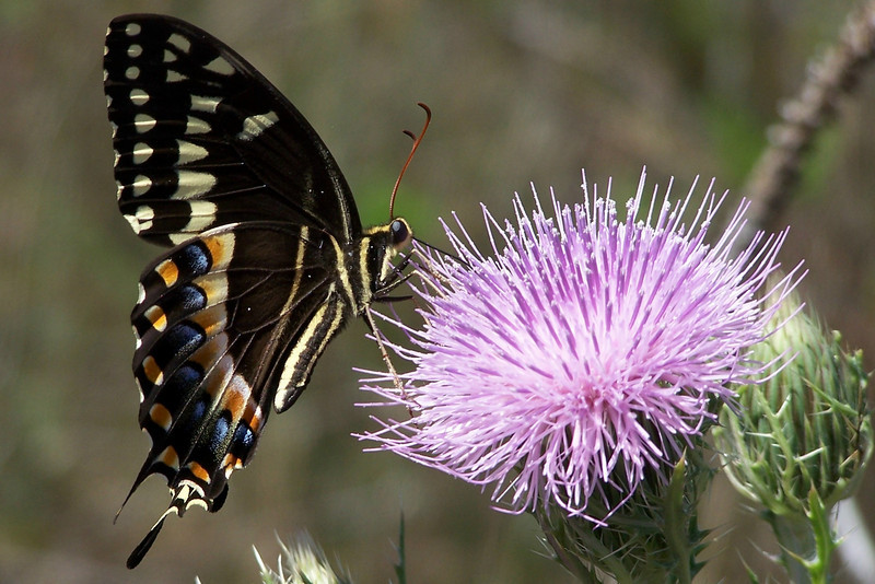A palmedes swallowtail butterfly feeds on a thisle flower<br /> Photo by Tom Caldwell